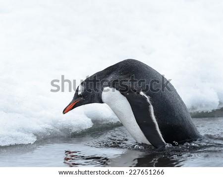 Portrait of a gentoo penguin in Antarctica - stock photo