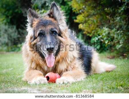 Portrait of a German Shepherd Alsatian Dog with toy - stock photo