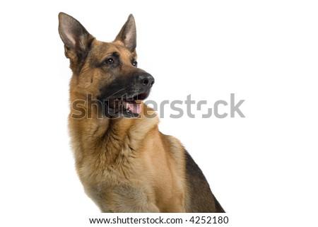Portrait of a German Shepherd looking sidewards - stock photo