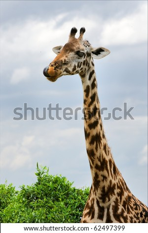 Portrait of a giraffe. A vertical portrait of a licking lips giraffe against the sky. - stock photo