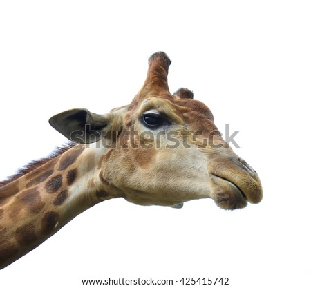 Portrait of a giraffe. African giraffe. - stock photo