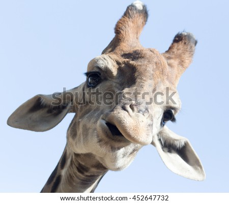 Portrait of a giraffe against the blue sky