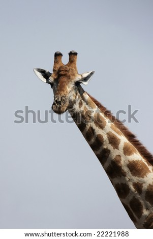 Portrait of a Giraffe in Namibia