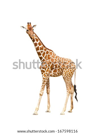 Portrait of a giraffe isolated on white background