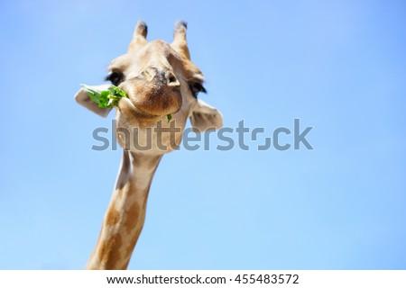 Portrait of a giraffe on blue sky background - stock photo
