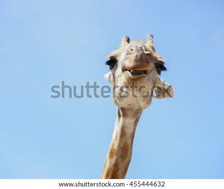Portrait of a giraffe on blue sky background, Selective focus - stock photo