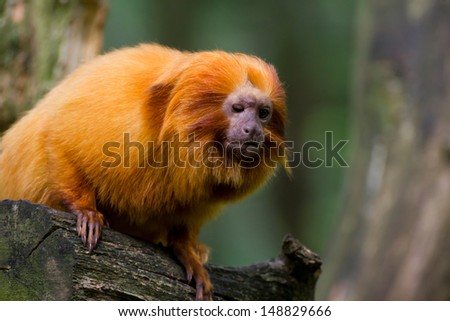 Portrait of a golden Lion tamarin - stock photo