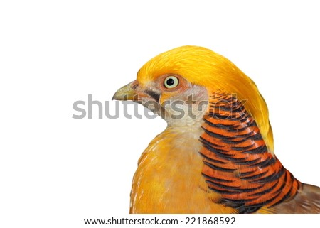 portrait of a golden pheasant isolated over white background - stock photo