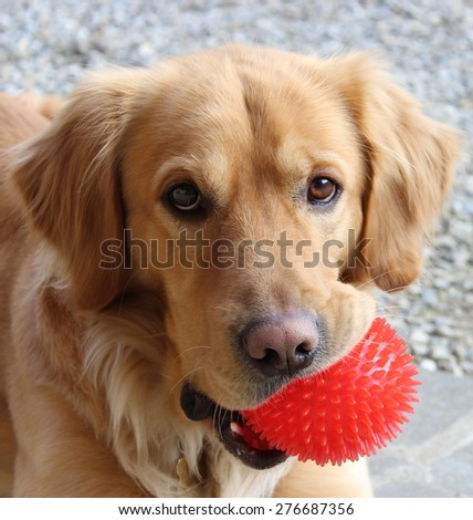 Portrait of a Golden Retriever with a red ball - stock photo