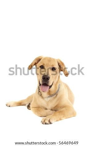 Portrait of a Golden Retriever with White background