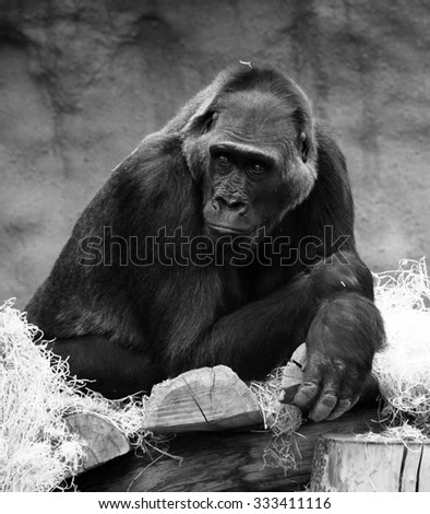 portrait of a gorilla in ZOO