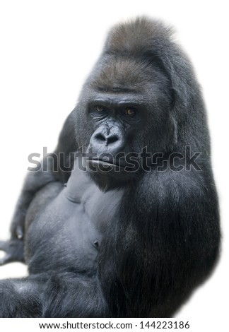 Portrait of a gorilla male, severe silverback, isolated on white background.