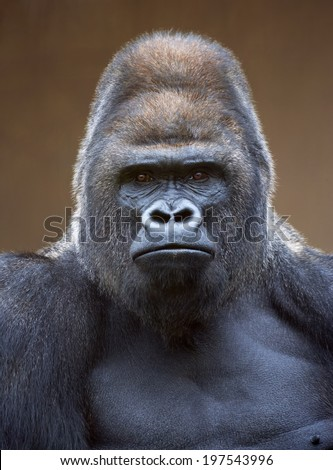 Portrait of a gorilla male, severe silverback, on light brown blur background. Grave look of the great ape, the most dangerous and biggest monkey of the world. The chief of a gorilla family.