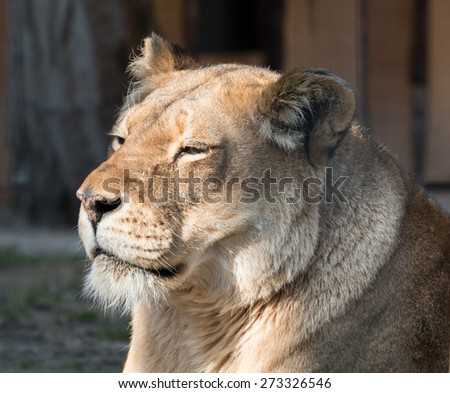 Portrait of a graceful female lion relaxing in the warm spring sun