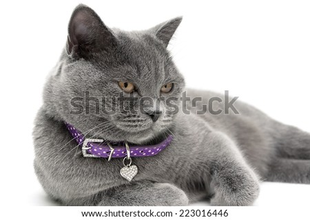 Portrait of a gray cat in a purple collar. white background - horizontal photo. - stock photo