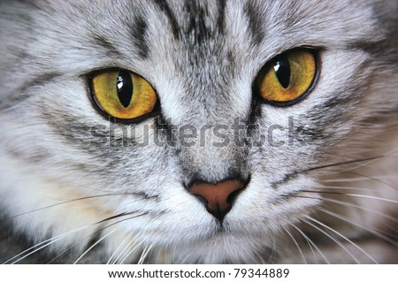 Portrait of a gray cat with yellow eyes