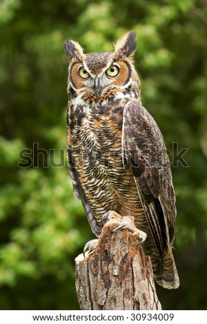Portrait of a great horned Owl Bubo viriginianus - stock photo