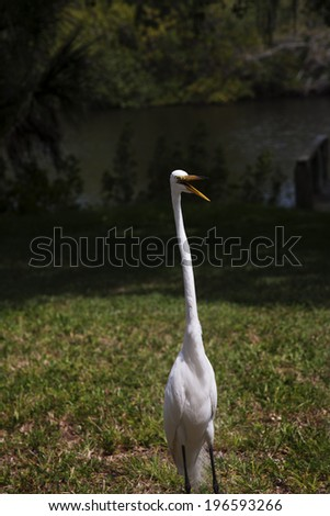 Portrait of a  great white egret on a background of green grass - stock photo