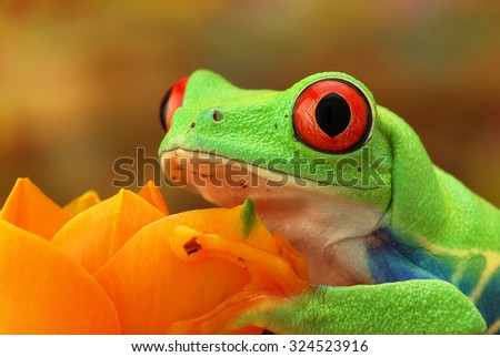 Portrait of a green frog with red eyes - stock photo