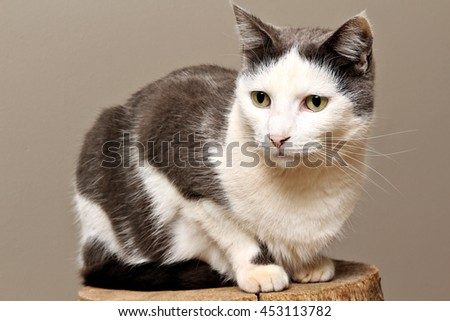 Portrait of a grey and white cat. - stock photo