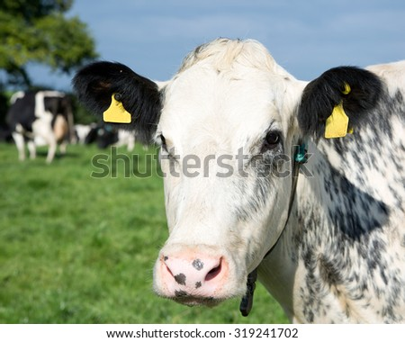 Portrait of a grey and white cow - stock photo