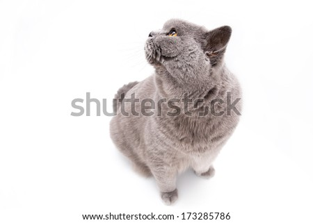 Portrait of a grey british cat isolated on white background