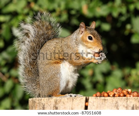 Portrait of a Grey Squirrel eating hazelnuts on a tree stump in Autumn sunshine - stock photo