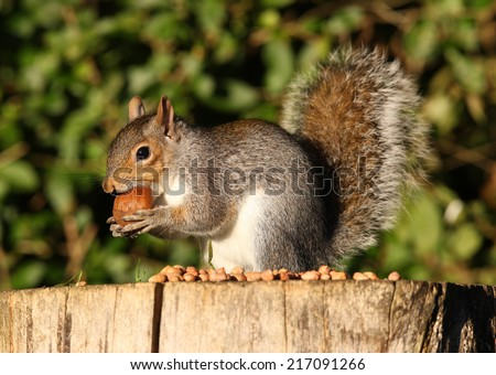 Portrait of a Grey Squirrel on a tree stump eating a large chestnut in Autumn sunshine