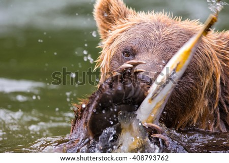 Portrait of a grizzly bear catching a fish in the pristine wilderness - stock photo