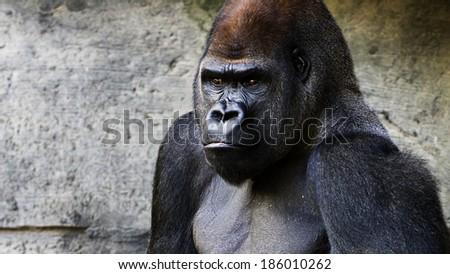 portrait of a grumpy gorilla - stock photo
