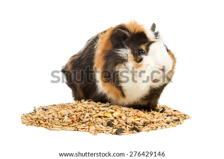 Portrait of a guinea pig on a pile of grain isolated on white background - stock photo