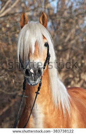 Portrait of a haflinger horse in the winter sun  - stock photo