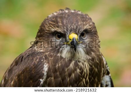 Portrait of a harris hawk - stock photo