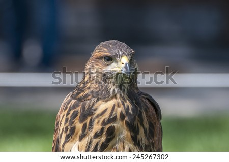 Portrait of a Harris Hawk. It is a medium-large bird of prey that breeds from the southwestern United States south to Chile and central Argentina  - stock photo