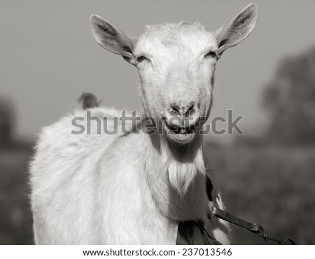 Portrait of a horned and bearded smiling goat. Toned in grayscale. - stock photo