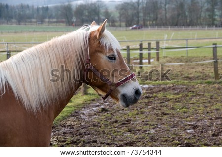 Portrait of a horse breed hafling.