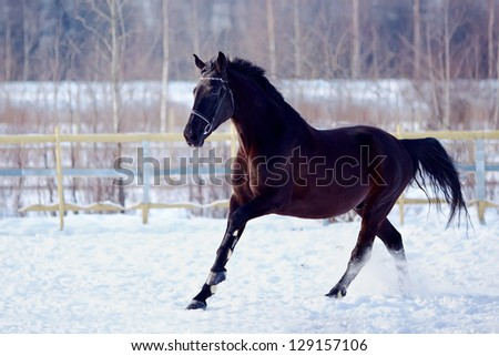Portrait of a horse. Sports horse. Thoroughbred stallion. Muzzle of a horse. Saddle horse. Black stallion. Skipping stallion. - stock photo