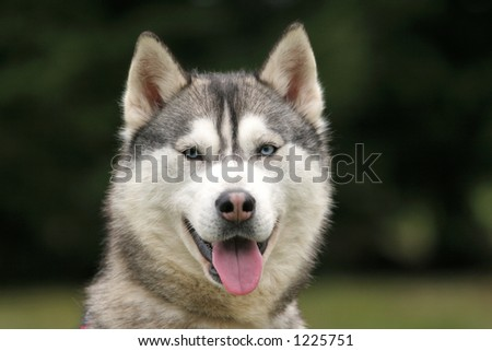 Portrait of a husky