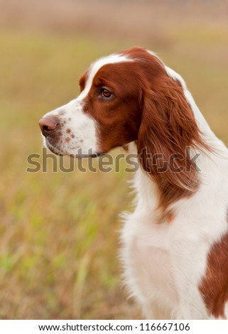 Portrait of a irish red and white setter, vertical - stock photo