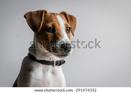 Portrait of a jack russell terrier puppy - stock photo