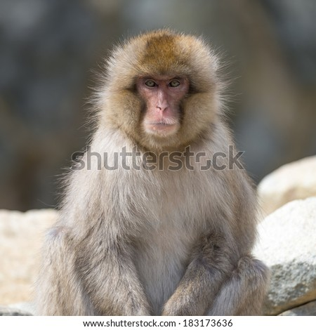 Portrait of a japanese macaque (snow monkey) - stock photo