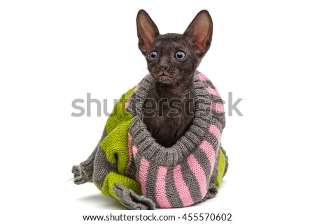 Portrait of a kitten breed Cornish Rex  in a sweater