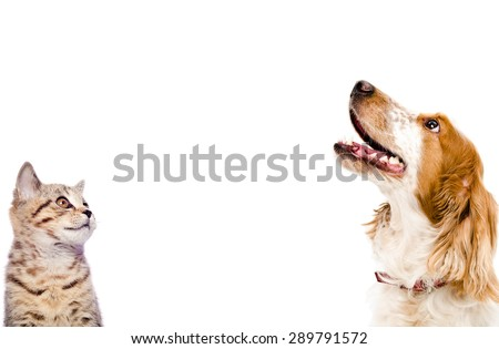 Portrait of a kitten Scottish Straight and dog Russian Spaniel closeup isolated on white background