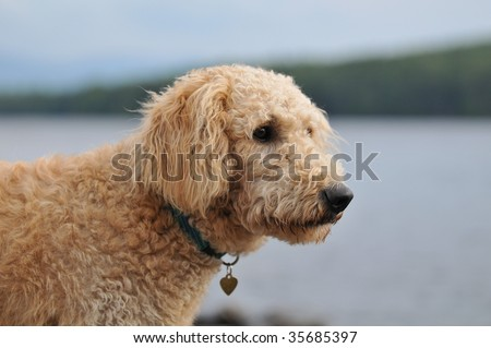 Portrait of a Labradoodle puppy - stock photo