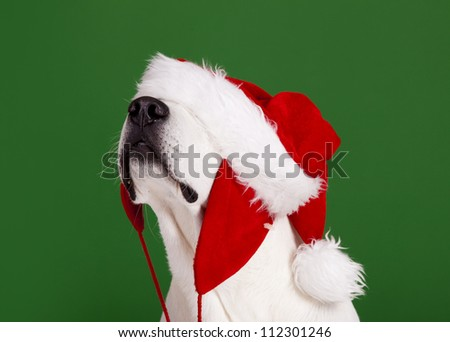 Portrait of a Labrador Retriever with a Santa hat isolated on a green background - stock photo