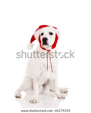Portrait of a Labrador retriever with a Santa hat isolated on white background