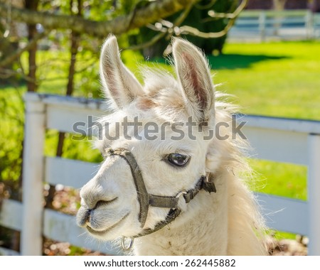 Portrait of a lama on farm. - stock photo