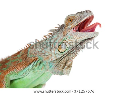 Portrait of a large iguana with mouth open and tongue sticking out - stock photo