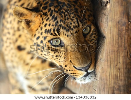 Portrait of a leopard in the summer - stock photo