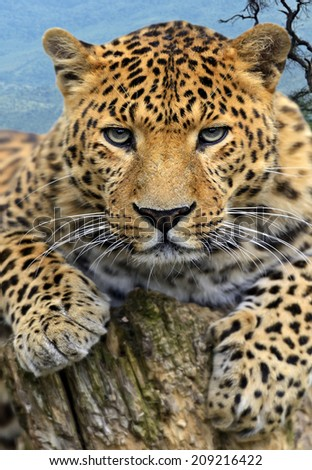 Portrait of a Leopard in the wild habitat - stock photo